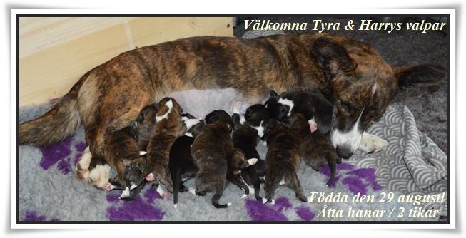 Nu kan vi på Nickname´s välkomna tio nya Cardiganvalpar födda 29 augusti. Vältecknade och välmående åtta hanar och 2 tikar alla i färgen brindle,